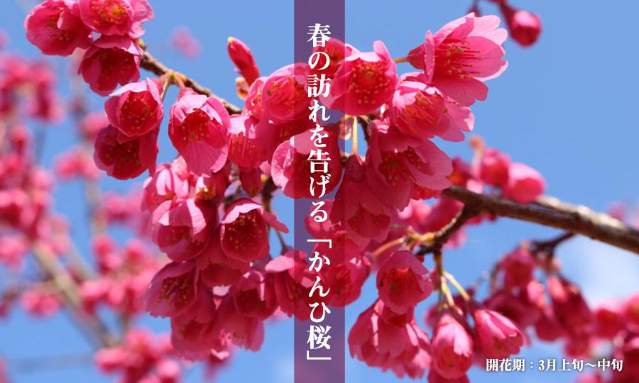 春の訪れを告げる「かんひ桜」